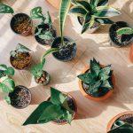 Citroenplant binnen