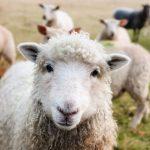 Soorten schapenvachten